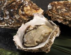 薄い殻に詰まった身は1.5倍!天然に勝る舞鶴湾の「育成岩牡蠣」