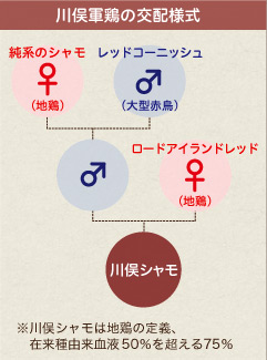 川俣軍鶏の交配様式