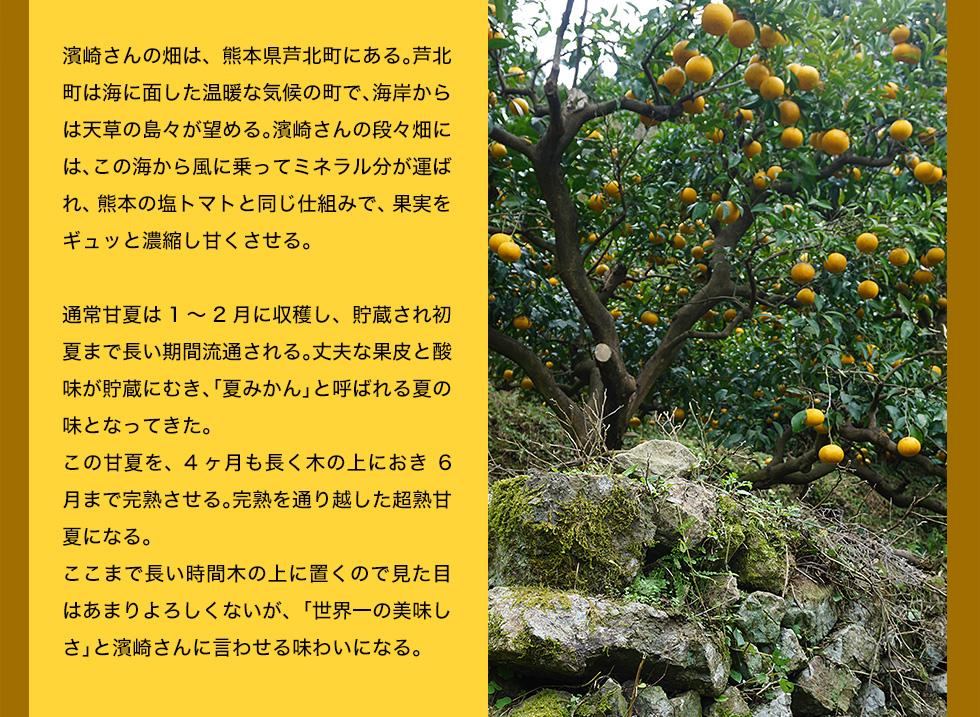 濱崎さんの畑は、熊本県芦北町にある。芦北町は海に面した温暖な気候の町で、海岸からは天草の島々が望める。濱崎さんの段々畑には、この海から風に乗ってミネラル分が運ばれ、熊本の塩トマトと同じ仕組みで、果実をギュッと濃縮し甘くさせる。<br> 通常甘夏は1〜2月に収穫し、貯蔵され初夏まで長い期間流通される。丈夫な果皮と酸味が貯蔵にむき、「夏みかん」と呼ばれる夏の味となってきた。この甘夏を、4ヶ月も長く木の上におき6月まで完熟させる。完熟を通り越した超熟甘夏になる。ここまで長い時間木の上に置くので見た目はあまりよろしくないが、「世界一の美味しさ」と濱崎さんに言わせる味わいになる。