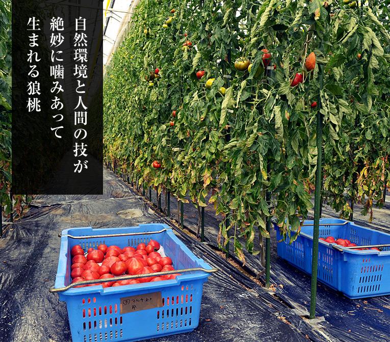 自然環境と人間の技が 絶妙に噛みあって生まれる狼桃 狼桃を作るDMファーマーズは、 常に自らを追い込んで、 究極のトマト作りに挑み続けています。
