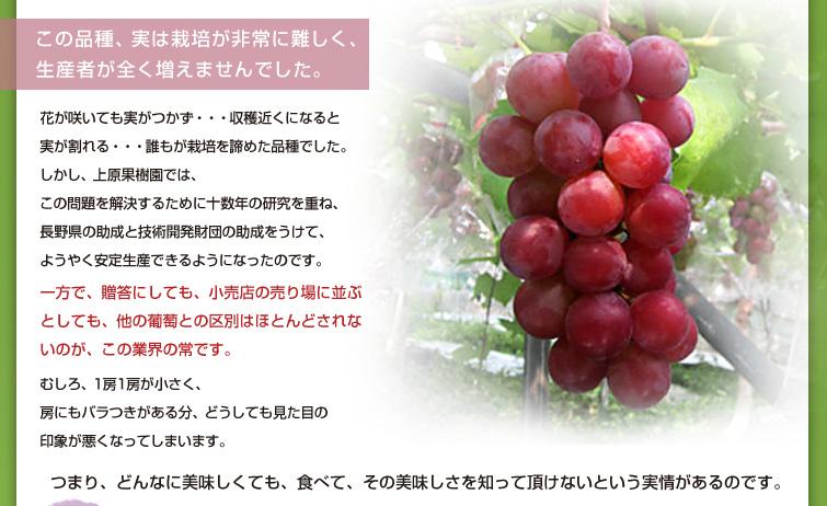 この品種、実は栽培が非常に難しく、生産者が全く増えませんでした。   花が咲いても実がつかず・・・ 収穫近くになると実が割れる・・・  誰もが栽培を諦めた品種でした。  しかし、上原果樹園では、 この問題を解決するために十数年の研究を重ね、 長野県の助成と技術開発財団の助成をうけて、 ようやく安定生産できるようになったのです。   一方で、贈答にしても、小売店の売り場に並ぶとしても、 他の葡萄との区別はほとんどされないのが、この業界の常です。  むしろ、1房1房が小さく、房にもバラつきがある分、 どうしても見た目の印象が悪くなってしまいます。  今でこそ、このインターネットのおかげでこのようにお伝え出来るようになりましたが、 それでも、まだまだ我々の知らない果物はたくさんあります。  つまり、どんなに美味しくても、 食べて、その美味しさを知って頂けないという実情があるのです。