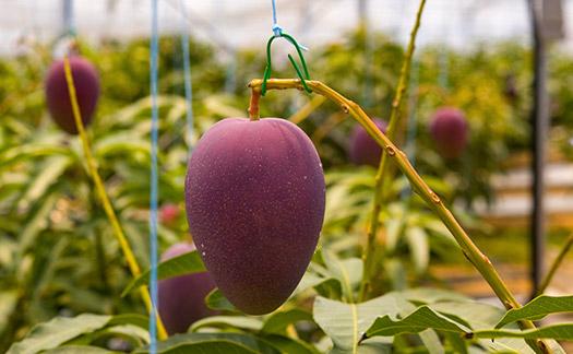 「きむら農園」の木村幸司さんが生産しているマンゴーは、アーウィンという種類で、日本では一般にアップルマンゴーとして表わされています。香りや味に強すぎる癖が無く日本人にはとても親しみやすいマンゴーです。