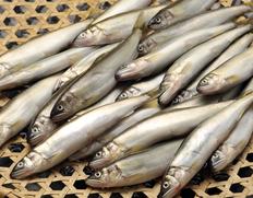 琵琶湖産 姉川の天然鮎  約500g(目安として20〜35匹ほど) ※冷蔵