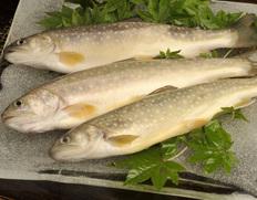 田沢湖トラウトファームの「岩魚(イワナ)」 3尾セット ※冷蔵