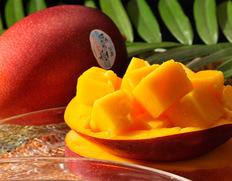 6/17〜22出荷 宮崎産完熟マンゴー『時の雫』 3Lサイズ 450g〜509g×2玉 化粧箱入