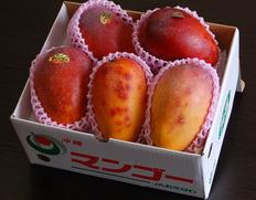 7月上旬〜順次出荷◇ 『訳あり沖縄マンゴー』約1.5kg(3〜6玉)