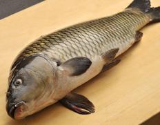 福岡産 活鯉《養殖》 1尾(約1kg) ※冷蔵