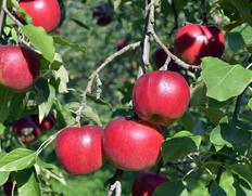 樹齢百年の古木に実る「昔ながらの紅玉」