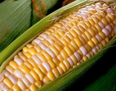 ドルチェヘブンの後継品種、高糖度×高風味の新品種トウモロコシが登場「ドルチェドリーム」