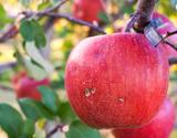 ちょっと訳あり 大野農園 復活アップル『サンふじ』 福島県石川町産りんご 約5kg(13〜18玉)の商品画像